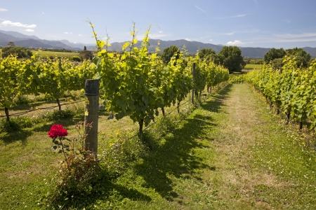 Nouvelle-Zélande - vignobles dans la région Marlborough, Île du Sud Banque d'images - 21296567