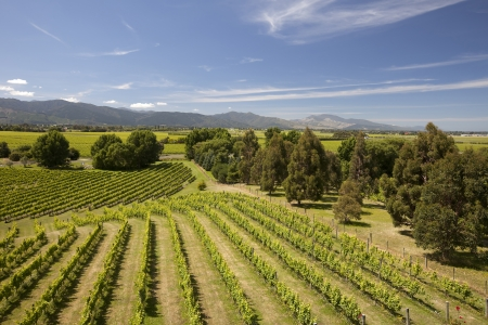south island new zealand: New Zealand - vineyards in the Marlborough district, South Island