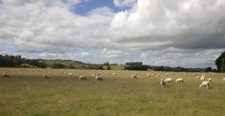 New Zealand - Grazing sheep on the meadows