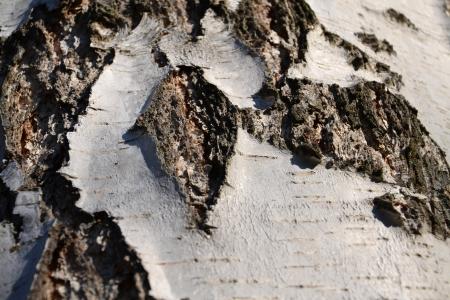 Birch bark Stock Photo - 16778577