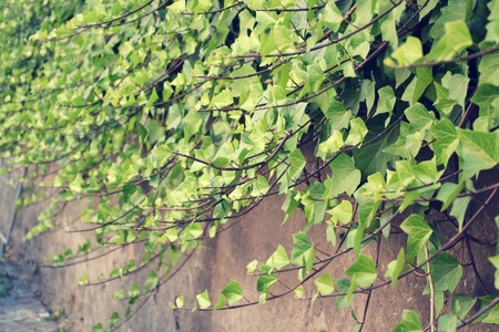 ramping: Filtered picture of Green Common Ivy ramping on the wall Stock Photo