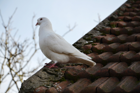 White dove sit on red roofing tiles