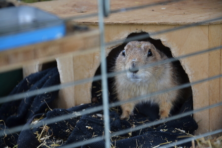 Picture of prairie dog locked in a cage