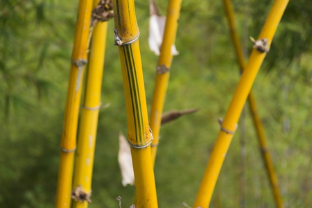 Yellow reeds with green stripes in a bamboo forest in Vietnam, Stock Photo