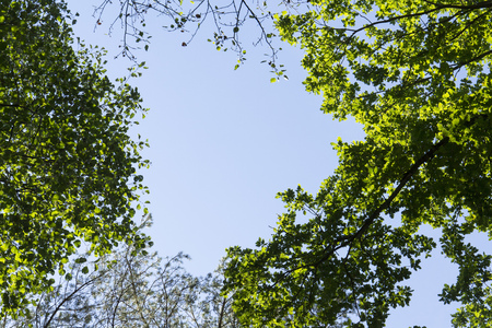 Bright green new spring foliage growing on high branches treetops of verdant forest with clear blue sky above Stock Photo