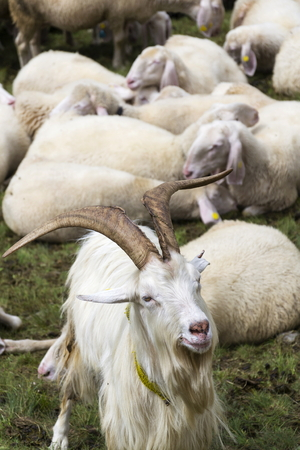 Flock of goats and sheep in Alps mountains, Livigno, Italy