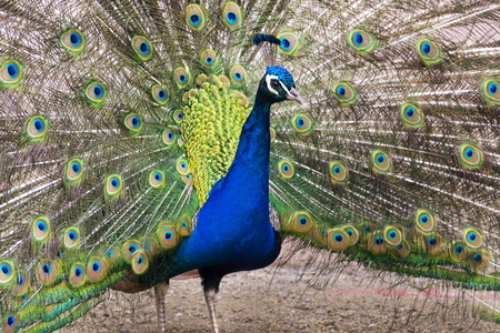 Beautiful peacock male showing bright colorful feathers Stock Photo