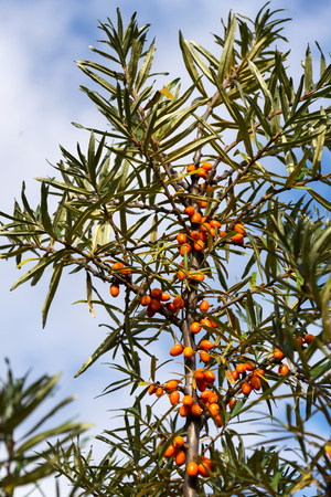 spiny: Hippophae rhamnoides known as common sea buckthorn shrub