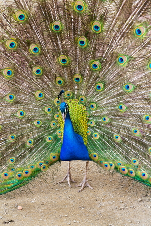 Beautiful indian blue peafowl male showing bright colorful feathers