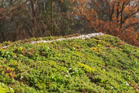 Top of green living roof covered with sedum sexangulare vegetation