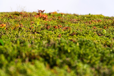 Detail of extensive green living roof covered with vegetation