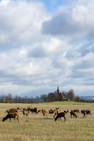 Deer herd, sunny autumn day, church in background, Czech Republic Stock Photo