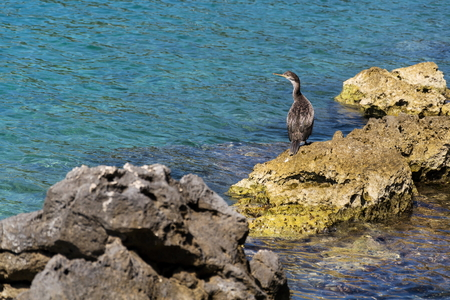 Bird on waterside of Kamenjak peninsula, Adriatic Sea, Premantura, Croatia