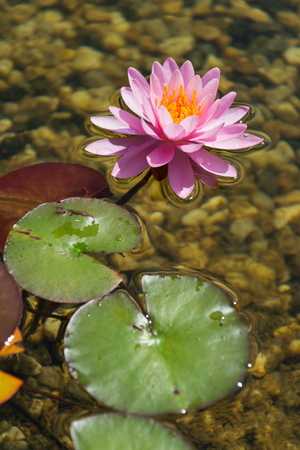Beautiful water lilies plants filtering water at natural swimming pond Stock Photo