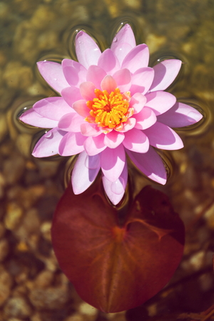 Beautiful pink water lily bloom, natural swimming pool, relaxation meditation