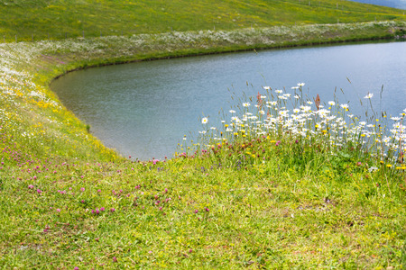 Beautiful marguerites and other wildflowers on bank of Alps lake Stock Photo