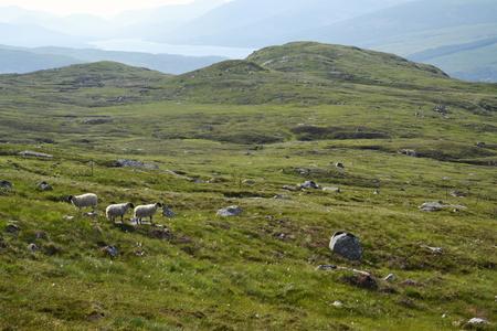 Scottish Blackface Sheep with idyllic summer mountains landscape, Highlands, Scotland, United Kingdom