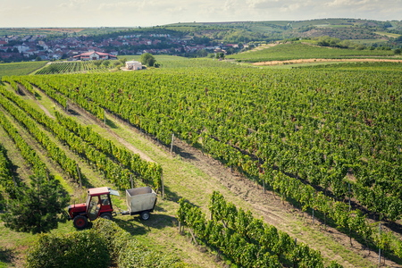 Red tractor ready for harvesting grapes in vineyar, sunny autumn day, Southern Moravia, Czech Republic
