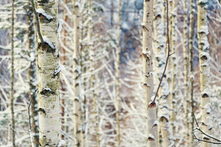 Birch tree trunks peaceful background, sunny winter day, snowy landscape, copy space