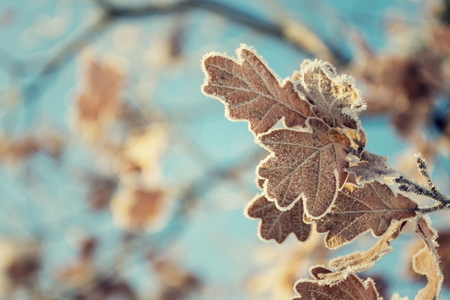Beautiful frosty oak tree leave on peaceful sunny winter day against clear blue sky background, copy space