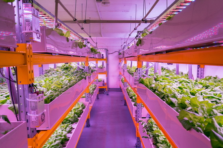 Shelves with lettuce in aquaponics system combining fish aquaculture with hydroponics, cultivating plants in water under artificial lighting, indoors Foto de archivo