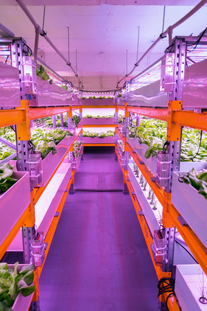Shelves with lettuce in aquaponics system combining fish aquaculture with hydroponics, cultivating plants in water under artificial lighting, indoors Фото со стока