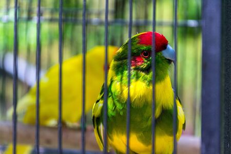 Red-crowned parakeet or red-fronted parakeet, kakariki parrot from New Zealand in cage Stockfoto