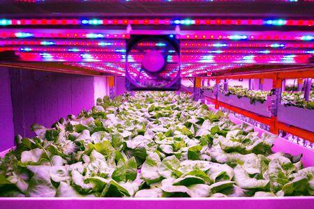 Ventilador y cinturones de luces LED especiales sobre lechuga en sistema de acuaponía que combina la acuicultura de peces con la hidroponía, cultivando plantas en agua bajo iluminación artificial, en interiores