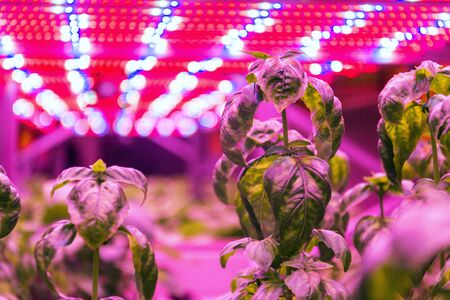 Special LED lights belts above basil herb in aquaponics system combining fish aquaculture with hydroponics, cultivating plants in water under artificial lighting, indoors