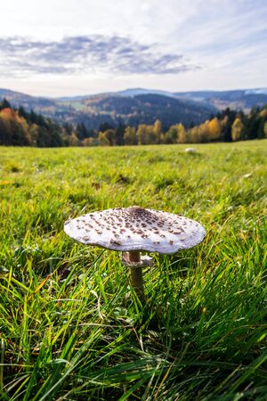 Parasol mushroom, macrolepiota procera fungus in green grass on sunny autumn day, copy space
