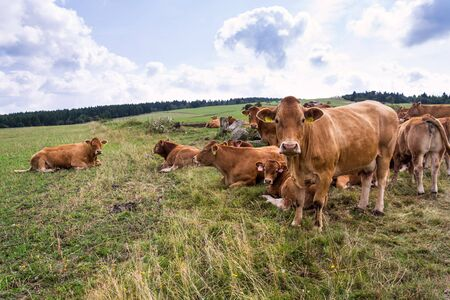 Herd of cows looking at camera and pasture on beautiful green mountain meadow, summer day copy space, sustainable ecological organic farming concept