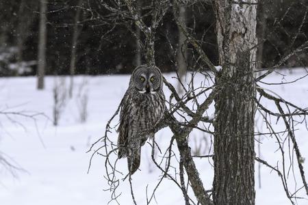 Great Grey Owl photo