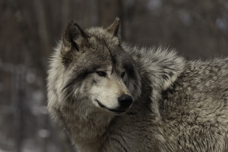 Timber wolf 스톡 콘텐츠