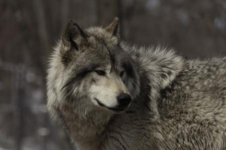 Timber wolf Zdjęcie Seryjne