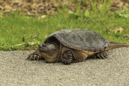 land turtle: Turtle on land