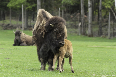 Female Buffalo and calf photo