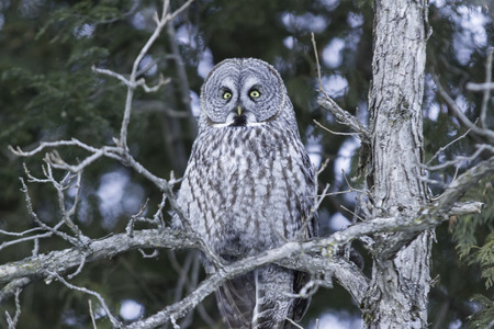 Great Grey Owl in a tree photo