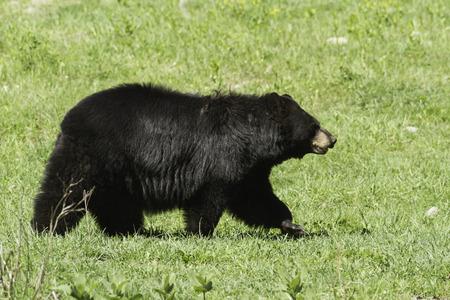 smoky mountains: Black Bear Stock Photo