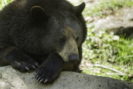 black bear: Black Bear Stock Photo