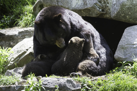 smoky mountains: Mother black bear with cubs Stock Photo