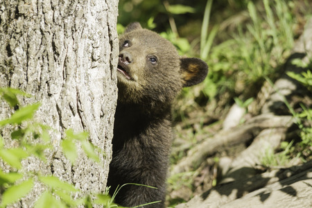 smoky mountains: Black Bear Cub