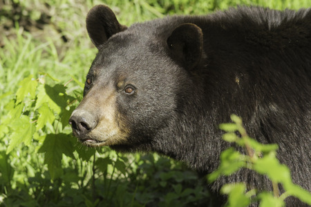 smoky mountains: Female Black Bear