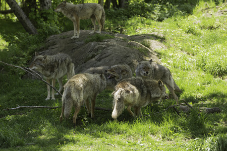 Howling pack of coyotes photo