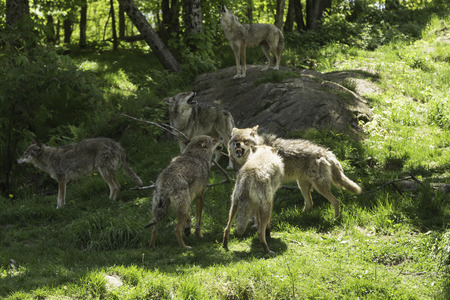 Howling pack of coyotes
