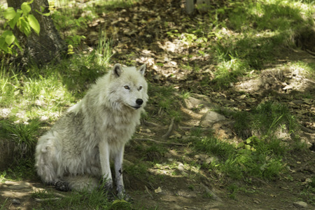 Arctic wolf in shade photo