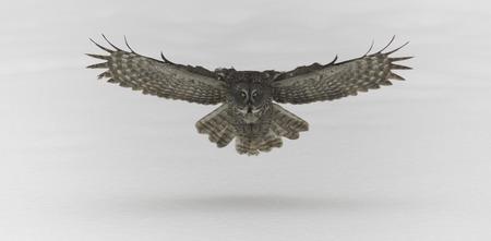 Great Grey Owl in flight Zdjęcie Seryjne