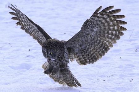 Great Grey Owl im Flug