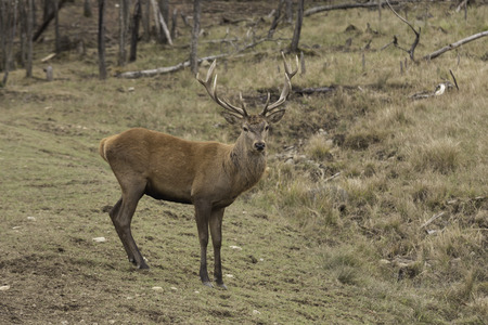 wapiti: Large male wapiti Stock Photo