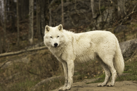 A lone Arctic Wolf photo