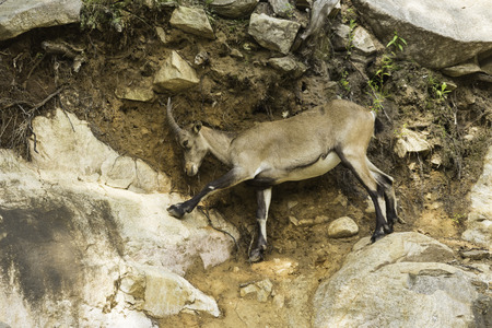 lanzarote: An Ibex on a cliff